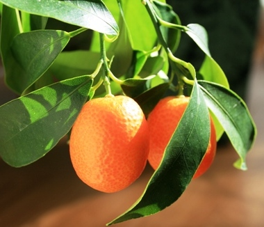 fruit kumquat