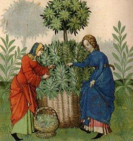 cueillette-plante-medicinale-moyen-age