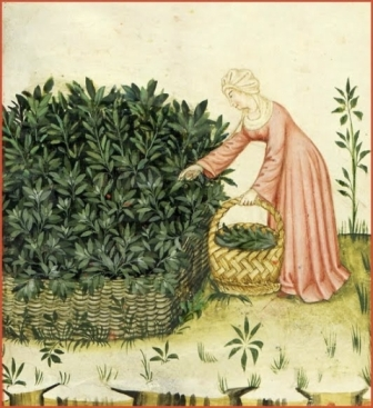 cueillette plantes médicinales moyen age Salvia Catanatense