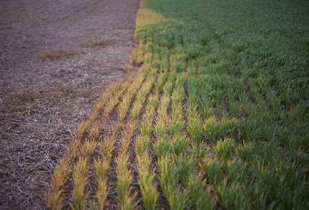 effet glyphosate herbe