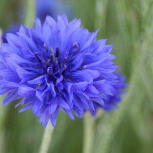 bleuet des champs fleur