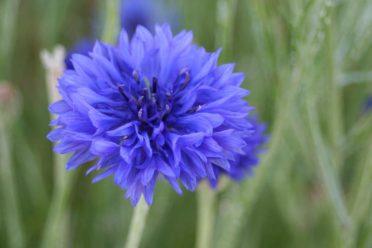 bleuet-des-champs-fleur
