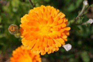 fleur calendula ou souci