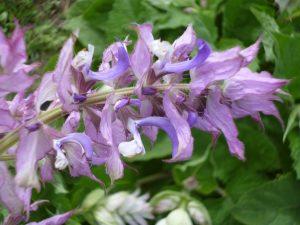 fleurs de sauge sclaree