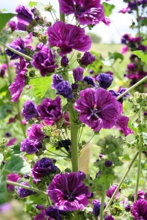 mauve en fleur