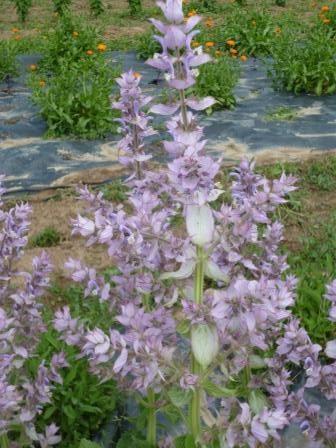 fleurs de sauge sclarée