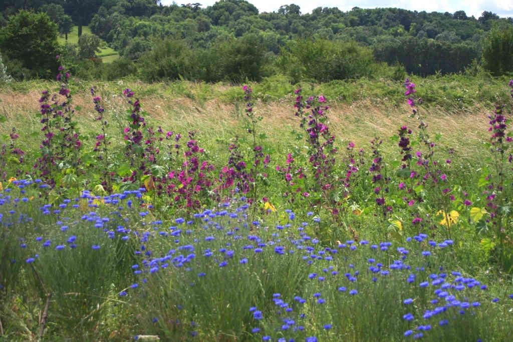 champ mauve et bleuet