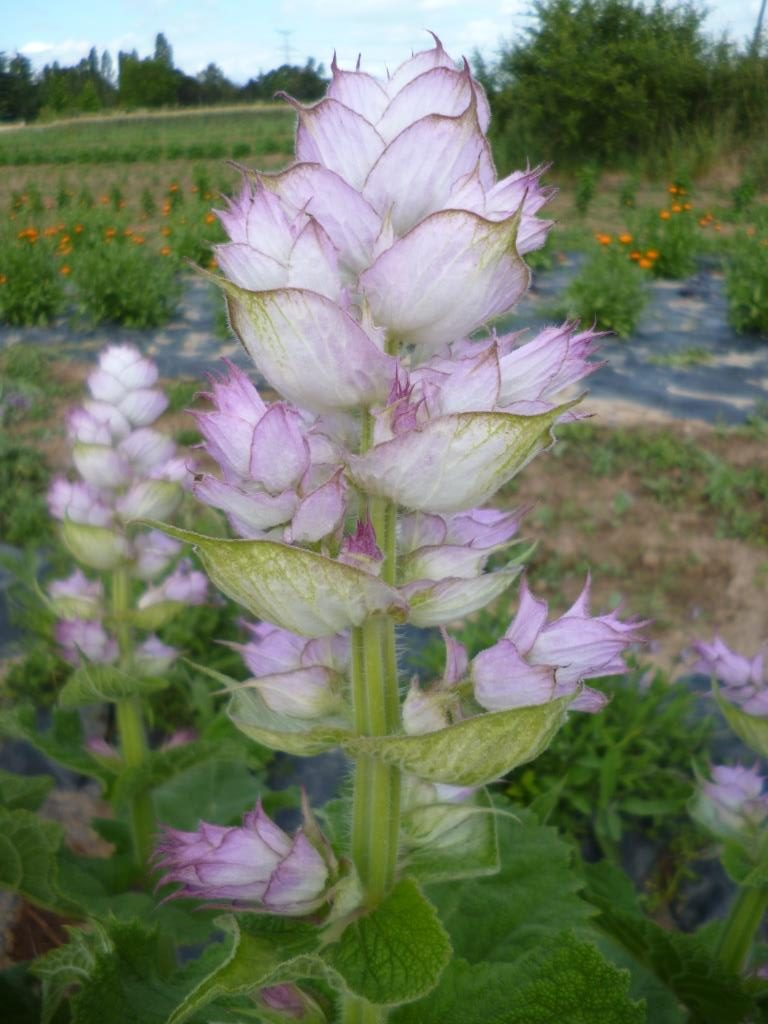 fleur de sauge sclarée