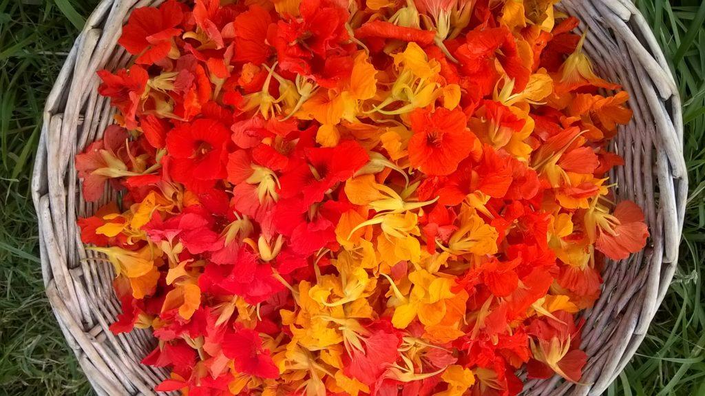 fleurs de capucine cueillette